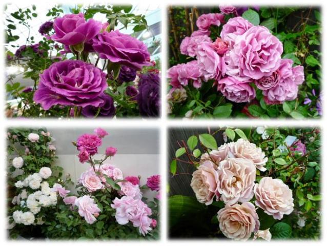 Roses_show20131bg