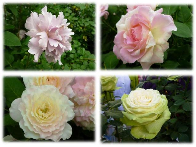 Roses_show20132bg